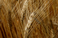 Wheat close up_009