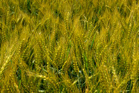 Colby__018 copy wheat